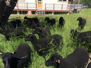 Wooly Lawnmowers