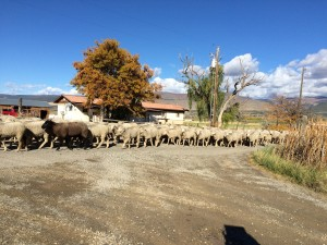 Marker Sheep
